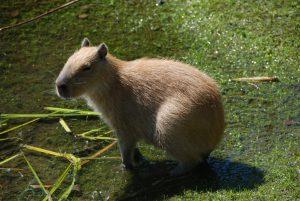 Kapibara największy gryzoń świata